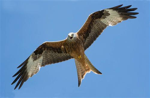 HD Wallpaper of Bird Kite