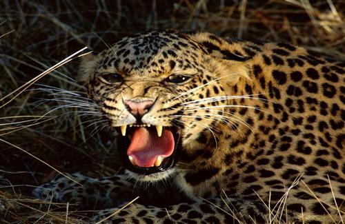 Angry Leopard Photo
