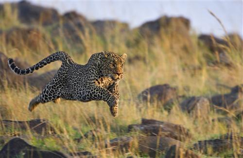 Animal Leopard Jump for Food HD Photo