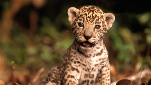 Charming Leopard Child Wallpaper