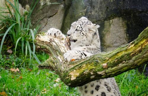 White Leopard in Jungle Photo