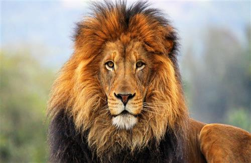 Amazing Wild Lion Mane Animals Images