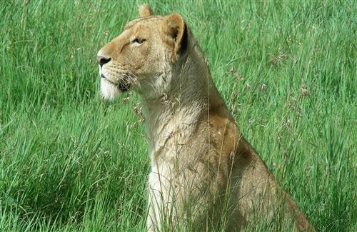Beautiful Lion in Green Grass