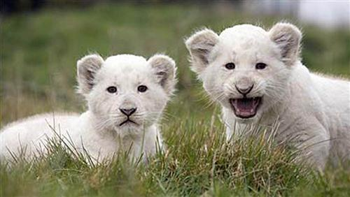 Charming White Lion Baby