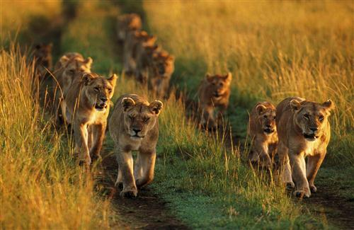 Lion Family Walking in Jungle HD Image