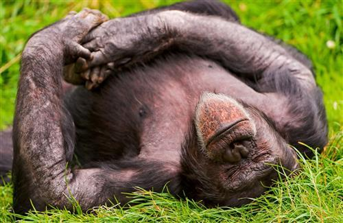 Animal Monkey Gorilla Sleeping on Garden HD Wallpaper