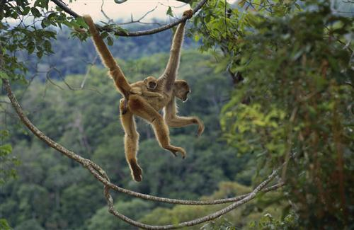 Animal Monkey on Jungle Tree Wallpaper