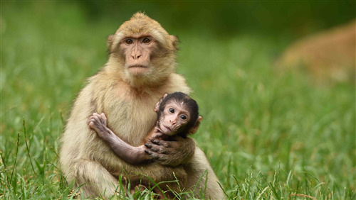 Baby Monkey Sitting with Mother