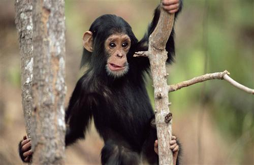 Chimpanzee Babies Wallpaper
