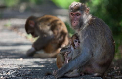 Monkey in India HD Pics