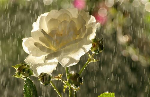 Beautiful Rain White Rose Wallpapers