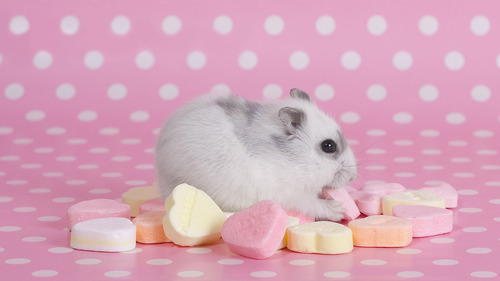 White Mouse Eating Heart Candy