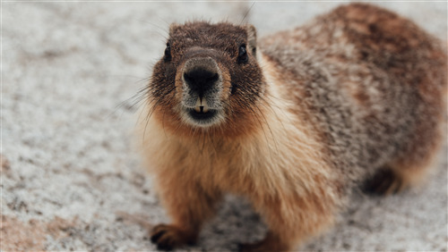 5K Wallpaper of Rodent Marmot