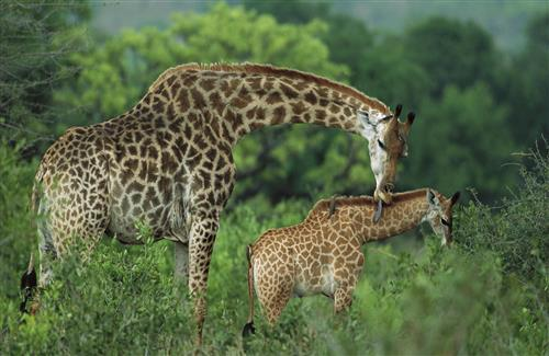 African Giraffe with His Baby in Jungle HD Wallpaper