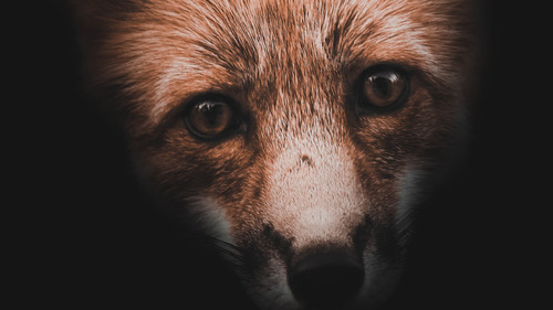 Animal Fox Close Up Face