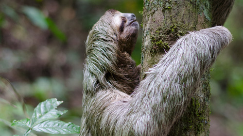 Animal Sloth Climbing on Tree