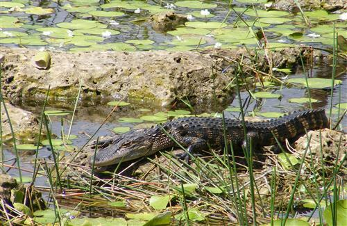 Big Crocodilian Alligator in Everglades National Park Florida US Photo