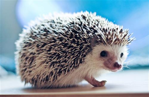 Cute Hedgehog Small Animal Wallpapers