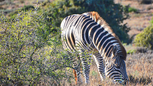Zebra Eating Dry Grass 5K Wallpaper