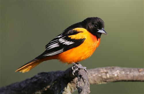 Baltimore Oriole Small Icterid Beautiful Black Bird High Quality Photos