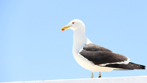 Beautiful Bird Seagull HD Photo