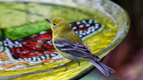Bird with Yellow Color Drink Water 5K Images