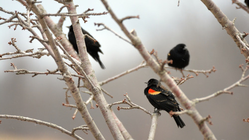 Black Australian Birds on Tree 5K Wallpaper