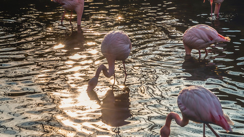 Flamingos Feeds Fish in Lake Photo