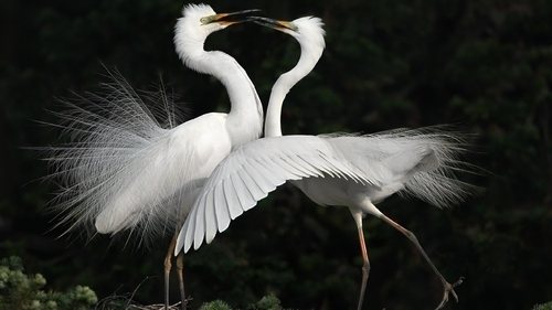 Heron Bird Couple Romantic HD Photo