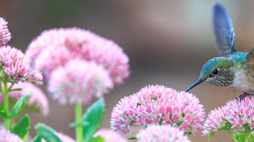 Hummingbird on Pink Flower HD Wallpaper