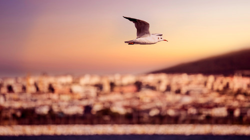 Seagull Bird Flying Over the Ocean 4K Wallpaper Background