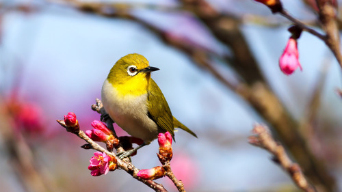 Yellow Bird HD Pictures