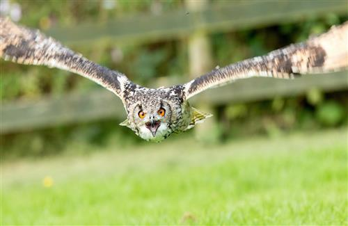 Amazing Beautiful Flying Owl HD Wallpaper Download