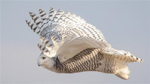 Bird Owl Flying Superb Wallpaper