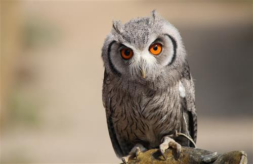 Bird Owl with Gray Color and Orange Eye HD Laptop Wallpapers Background