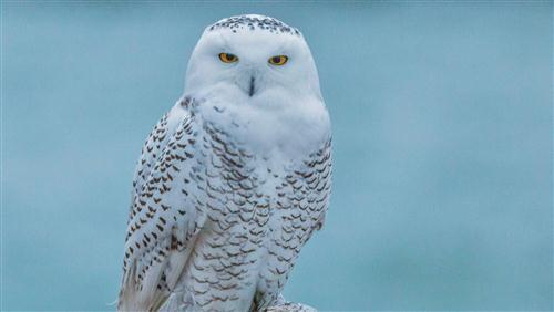 White Bird Owl