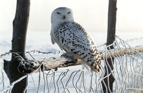 White Owl in Snow