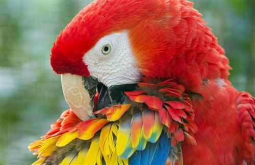 Beautiful Red Parrot Bird HD Wallpaper