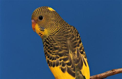 Beautiful Yellow Parrot HD Wallpaper