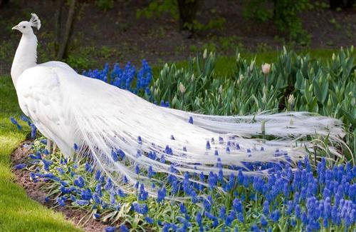 Beautiful White Peafowl in Garden