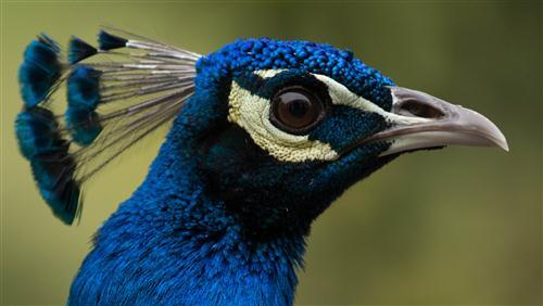 Bird Peacock Face