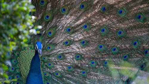 Peacock In Garden 5K Photo Background