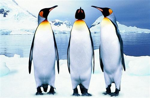 Birds Penguin HD Wallpaper