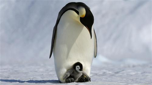 Charming Penguin Baby with Her Mother