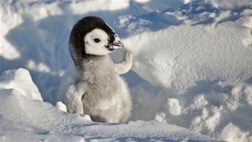 Cute Penguin Baby in Snow