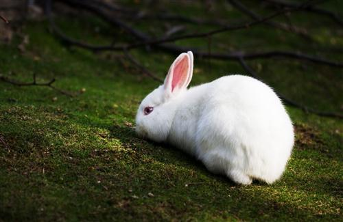 Animal White Rabbit Eating Grass