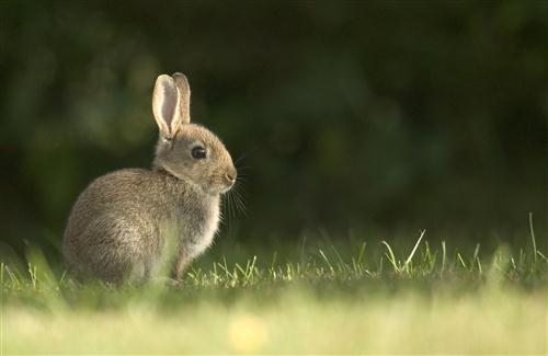 Grey Color Rabbit in Garden Photo