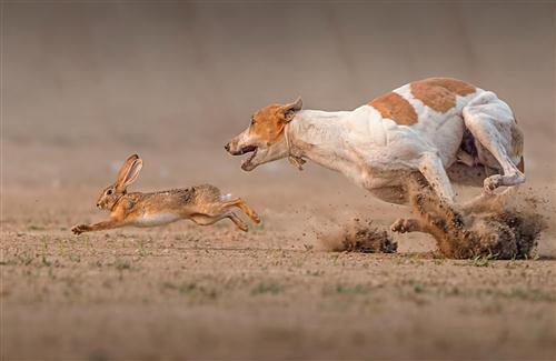 Rabbit Run From the Dog Animal Photo