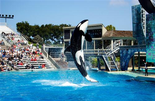 Amazing Black Fish Show in SeaWorld San Diego City United States