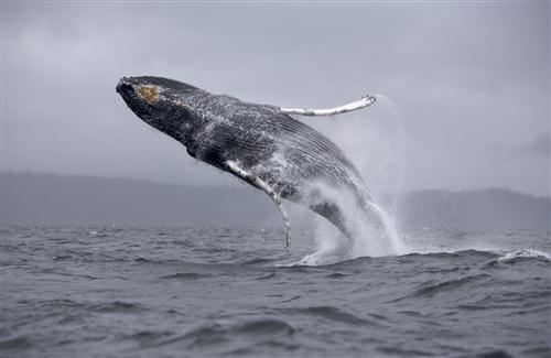 Big Whale Fish in Blue Sea HD Wallpapers